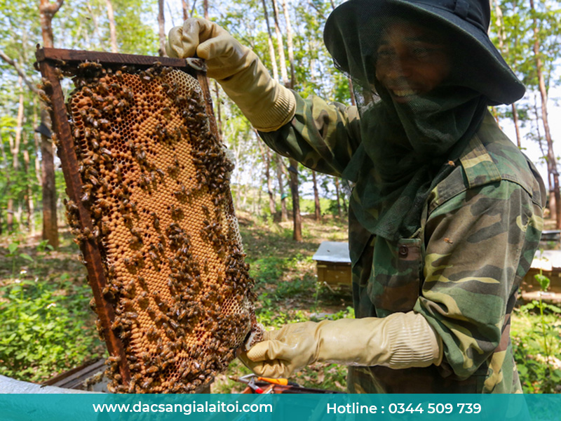 Mật ong lá cao su được thu thập tại gia lai