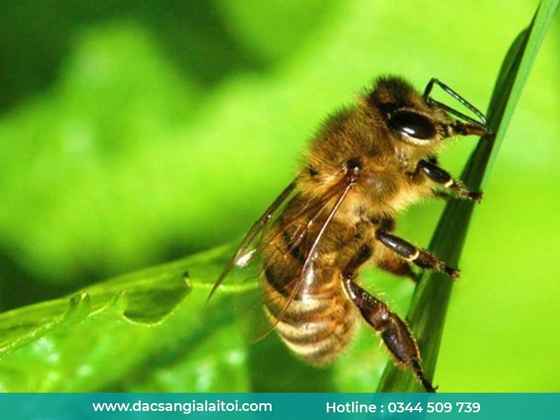 Tác dụng của mật ong lá cao su