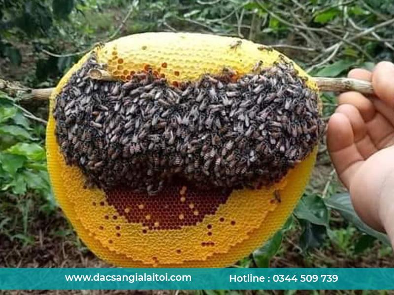 Mật ong rừng là gì ? Mật ong rừng gồm những loại nào ?