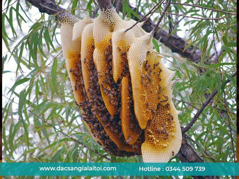 Hình ảnh mật ong Khoái - mật ong rừng khổng lồ