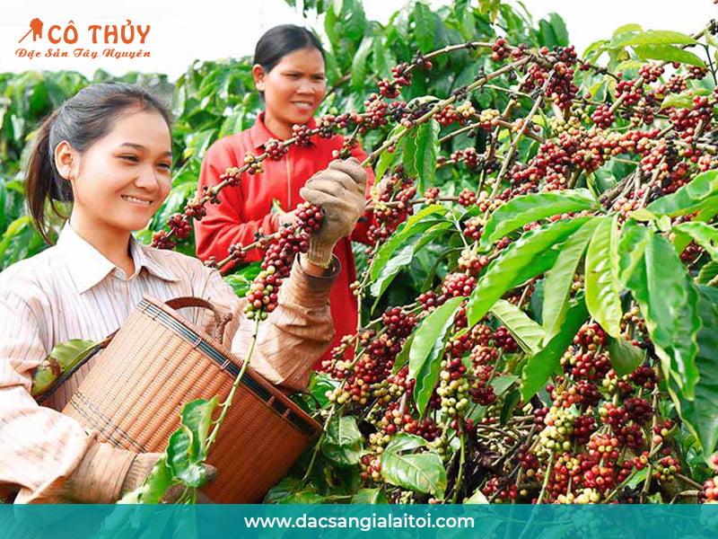 Nguồn gốc của mật ong hoa cà phê
